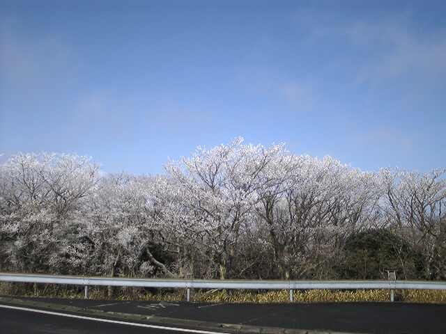 桜満開!?